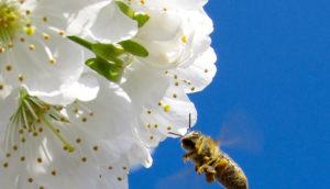 Vídeo: Las abejas dirigen la alimentación humana